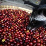What's Hiding in the World's Most Expensive Cup of Coffee?