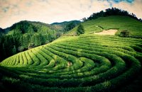 Flickr/Byoung Wook (Creative Commons) Green Tea Farm