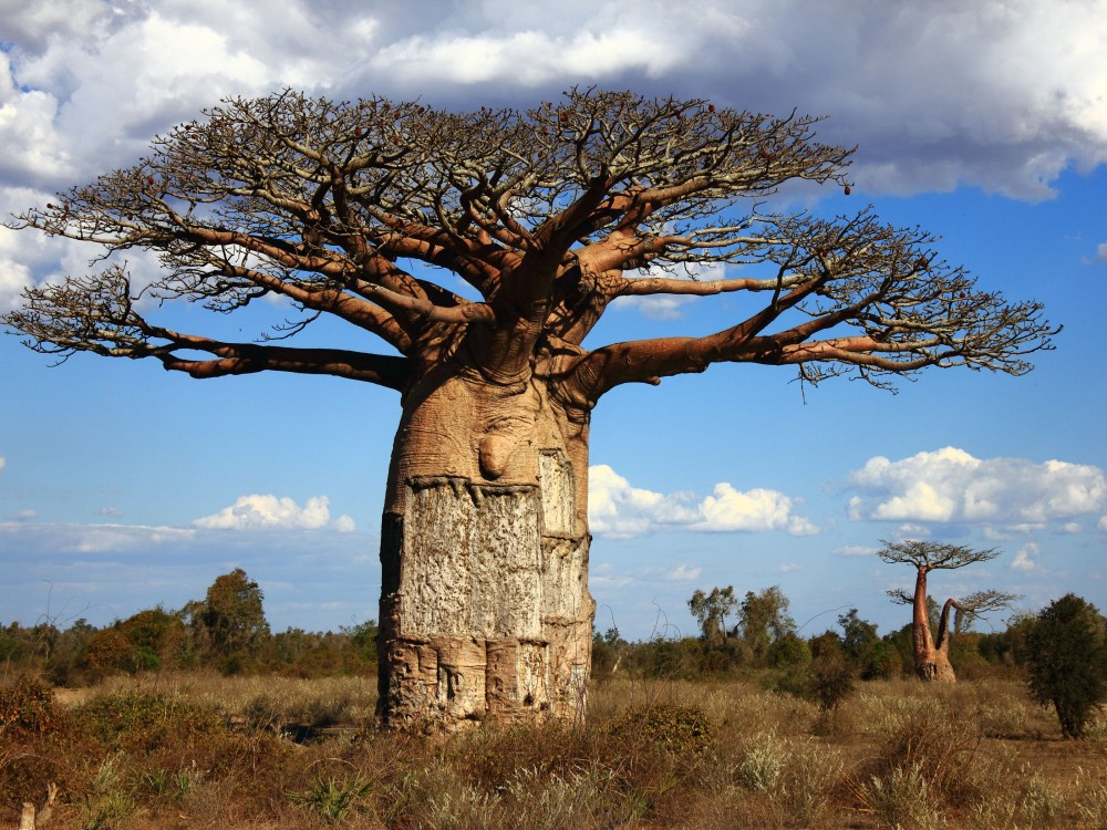 Madagascar-Baobab-Tree