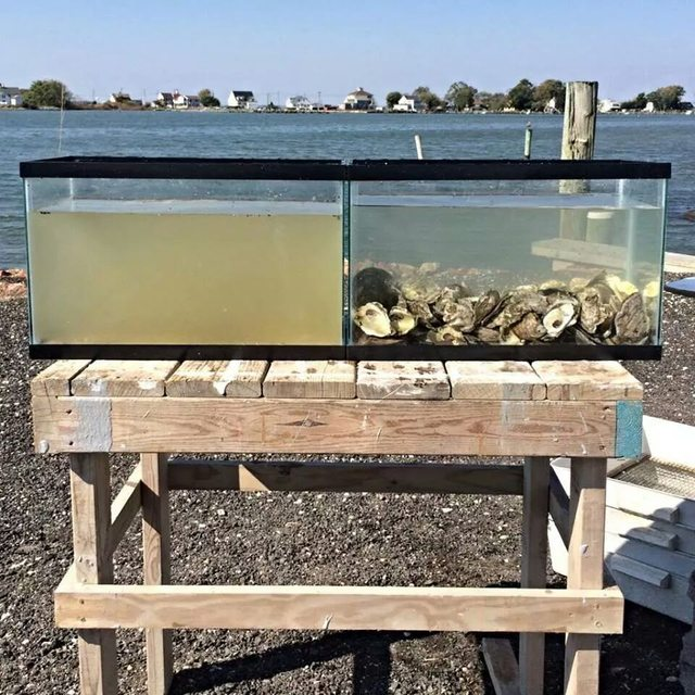 Oysters Filtering Water