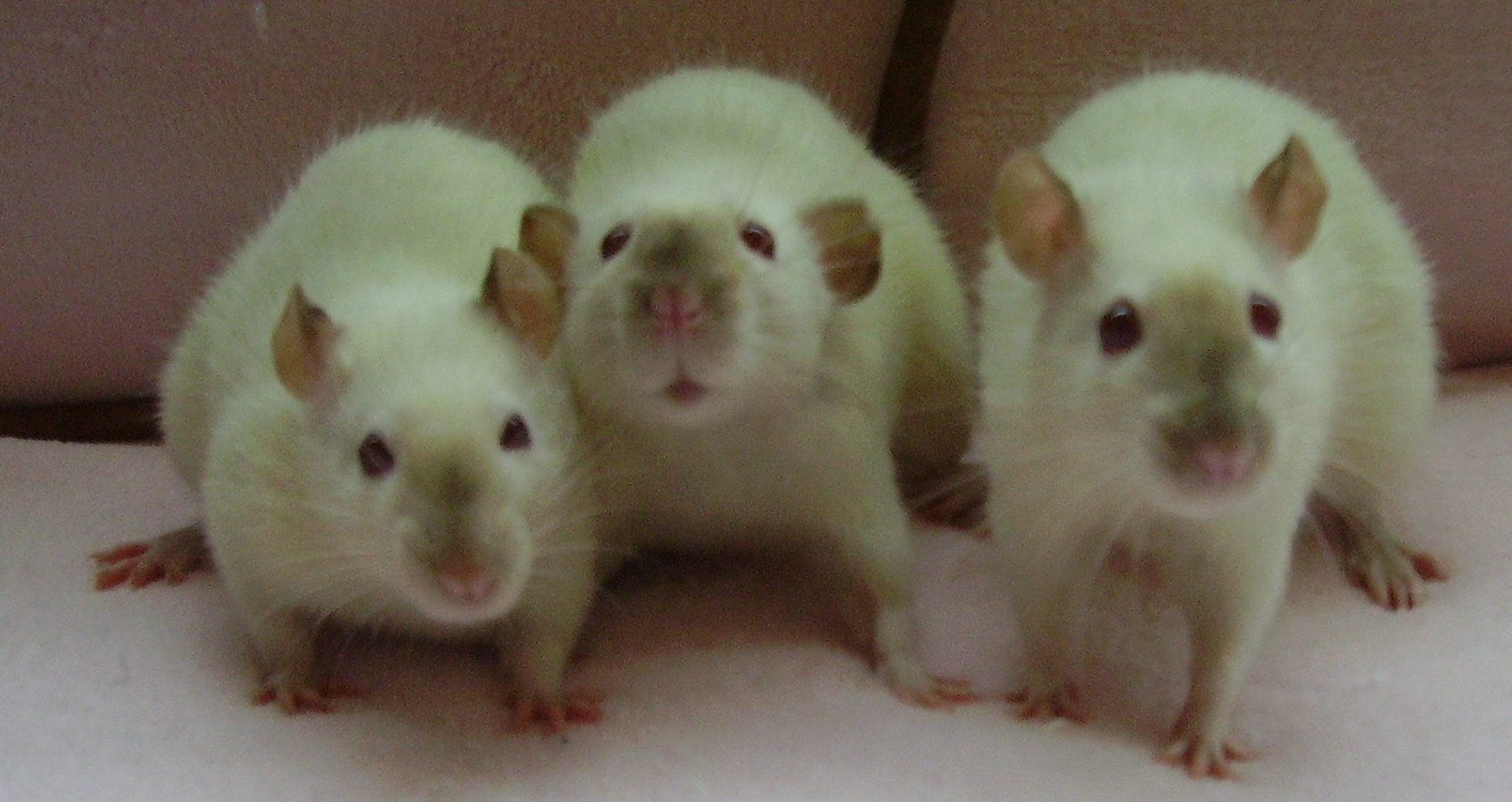 Cheaper 3D Printed Rats for Dissection Will Save Millions of Animals From Cruelty