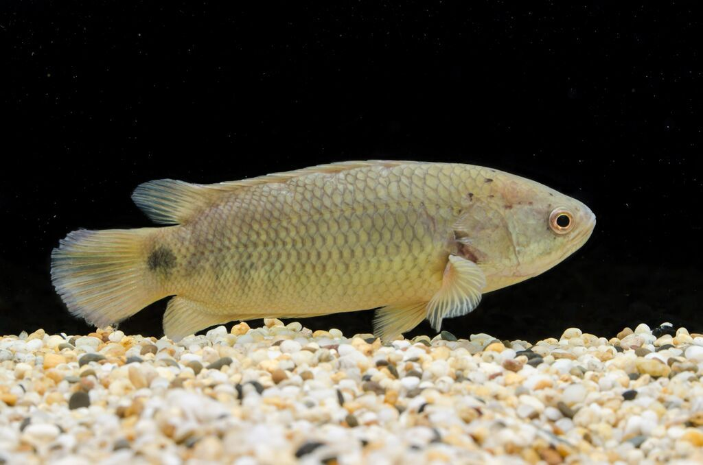The terrifying climbing perch could spell disaster for for How long to air fry fish