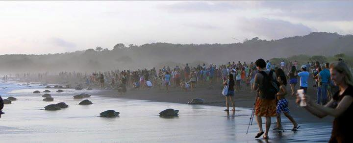 Tourist Selfie-Takers Invade the Space of Nesting Sea Turtles In Costa Rica