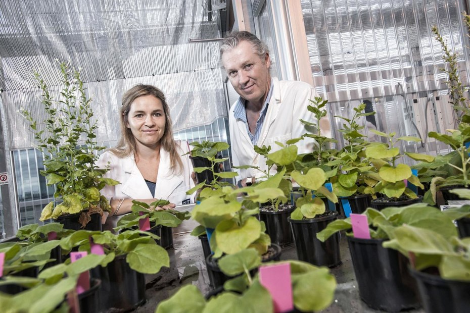 A Native Australian Tobacco Plant Holds the Key to Growing Food in Space
