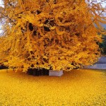 Spectacular 1,400-Year-Old Ginkgo Tree Shedding a Sea of Golden Leaves