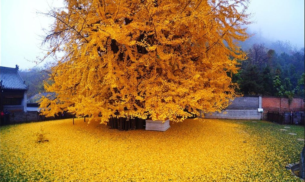 Spectacular 1 400 Year Old Ginkgo Tree Shedding A Sea Of Golden