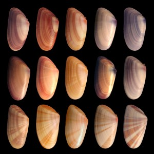 Coquina Genetic Variations