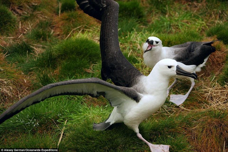 Yellow-nosed albatross frolic on the island