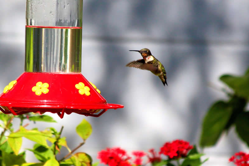 Did You Know You Can Attract Hummingbirds Without The Red Dye
