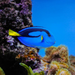 Love Dory in the Movies, But Please Leave Blue Tangs in the Ocean