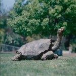 Diego, the Casanova Galapagos Giant Tortoise, Single-Handedly Saves His Species From Extinction