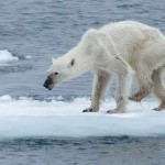 Shocking Photo of a Polar Bear Signals Tragedy Ahead in the Arctic