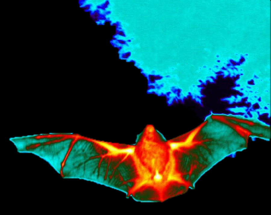 New Thermal Imaging Camera For Bat Conservation and Research
