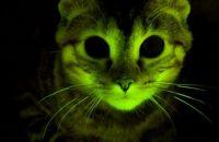 Genetic Engineering Glow in the Dark Cat