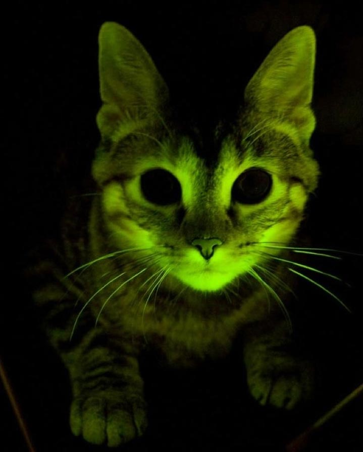 Genetic Engineering Glow in the Dark Cat