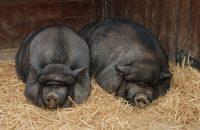 Pigs & Organ Transplants
