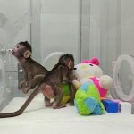 Cloned Monkeys in China Raise Fears of Human Cloning