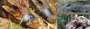 Bizarre Orange Crocodiles Mutating into New Species
