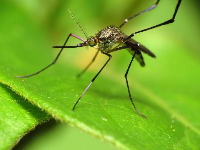 malaria, mosquito