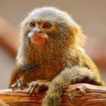 Discovery Reveals Secret of World's Smallest Monkey