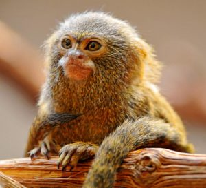 Discovery Reveals Secret of World's Smallest Monkey