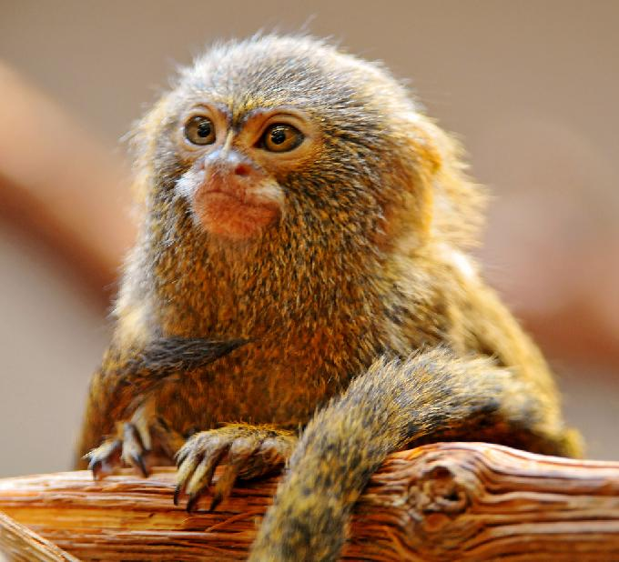 World's Smallest Monkey