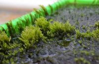 Miracle Moss can remove arsenic from water