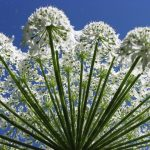 Giant Hogweed Invades Virginia. Sap Can Cause Permanent Blindness