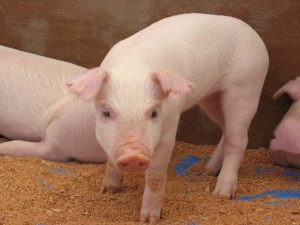 China Uses Artificial Intelligence to Track its 700 Million Pigs