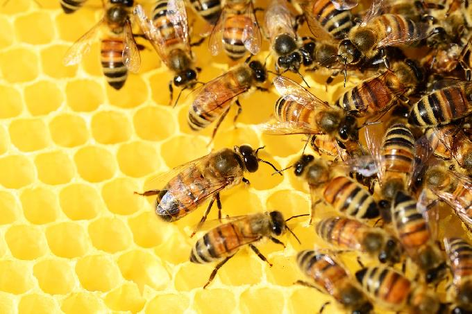 Dutch Scientists Train Bees to Detect People Infected With COVID-19