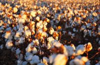 USDA Gives Rare Approval to Edible Cotton to Feed Millions