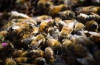 New Evidence links World's Most Popular Weed Killer to Decline of Honey Bees