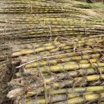 Mauritius Ditches Fossil Fuels to Run On Sugarcane