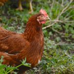 Genetically Modified Chickens Lay Eggs Containing Anti-Cancer Medicine