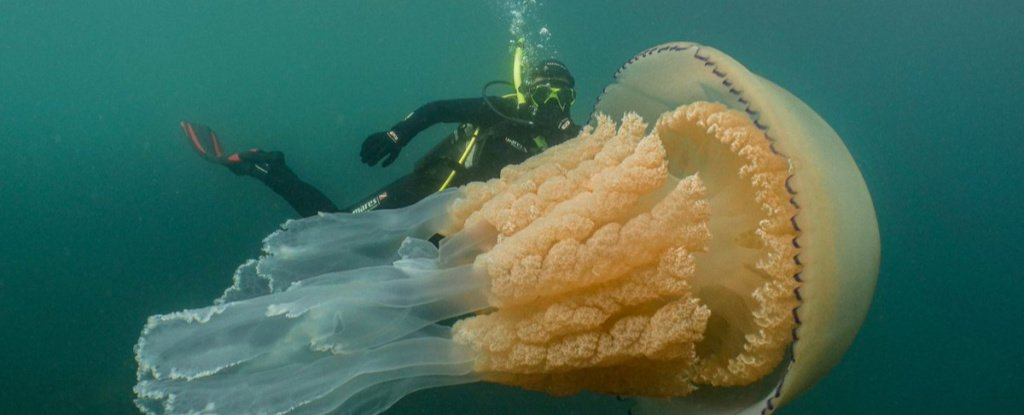 Giant Jellyfish as Big as a Human Spotted Off UK Coast