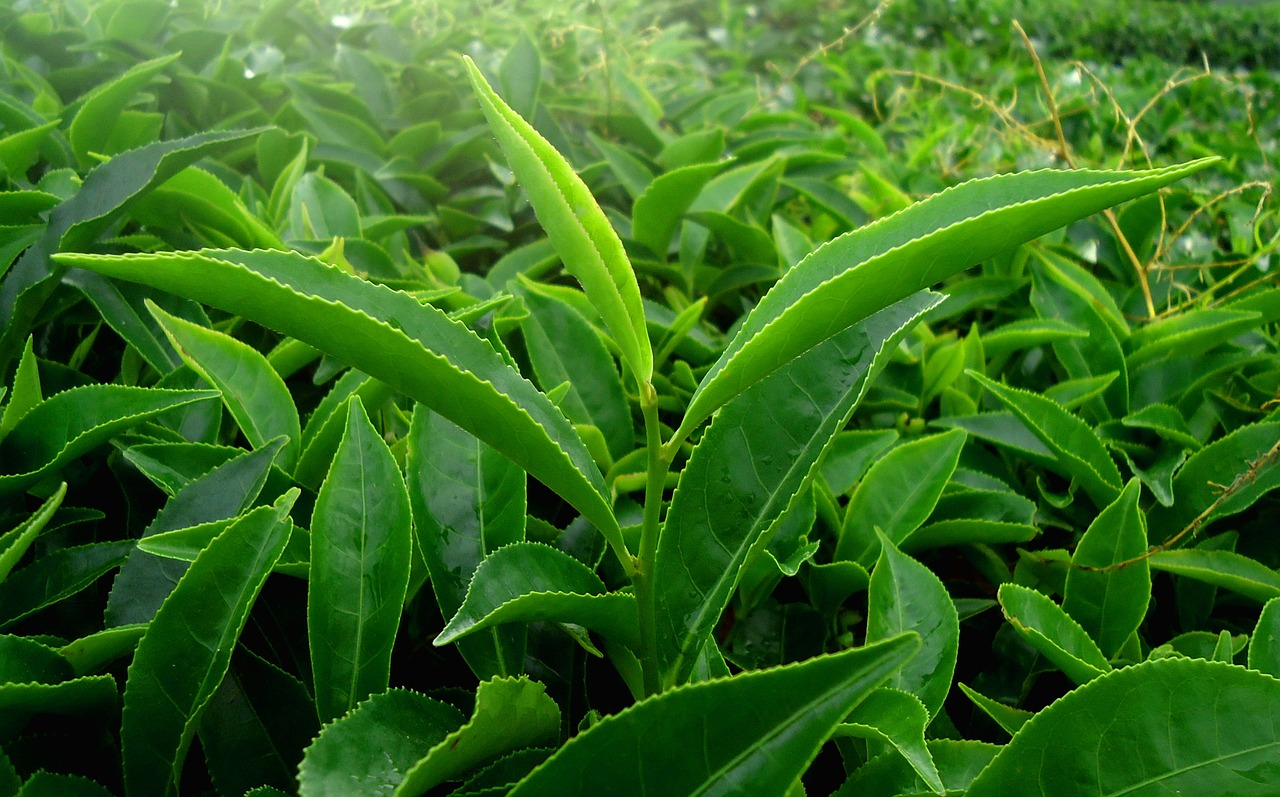 Green Tea Could Help Us Eradicate Multidrug-Resistant Bacteria