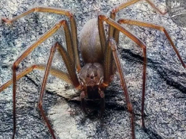 Venomous Spider That Rots FLESH With A Single Bite Discovered In Mexico