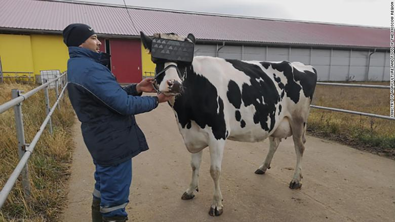 Russian Cows Get VR Headsets with Hopes They Would Be Happier and Make Better Milk
