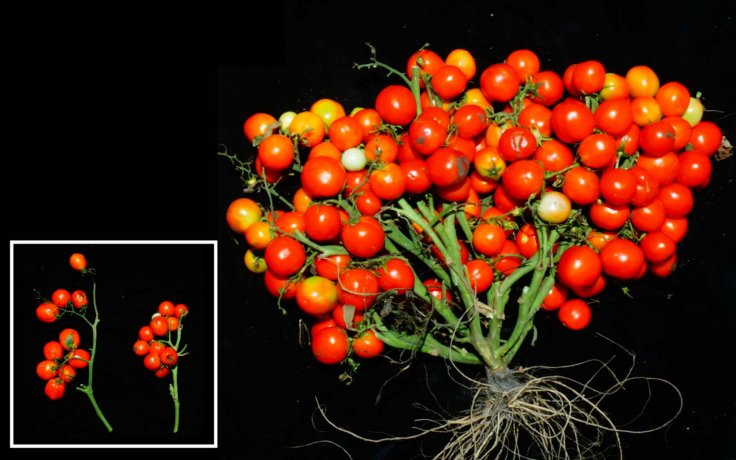 Scientists Gene-Edited Tomatoes Ideal for Urban Gardens and Even Outer Space
