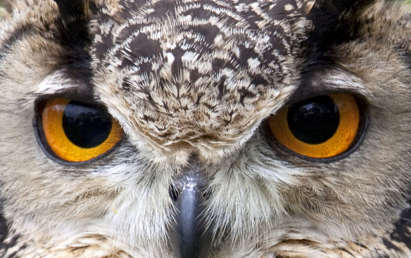 Special DNA in Owl Eyes Is Perhaps a 'Lens' That Supercharges Night Vision