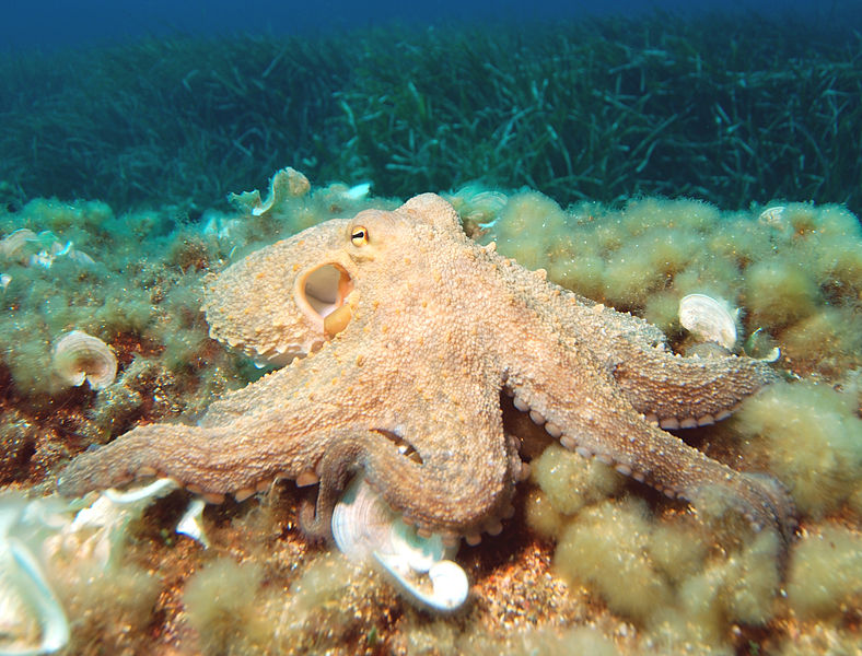 Study says Octopuses Punch When They Are Hungry and Angry