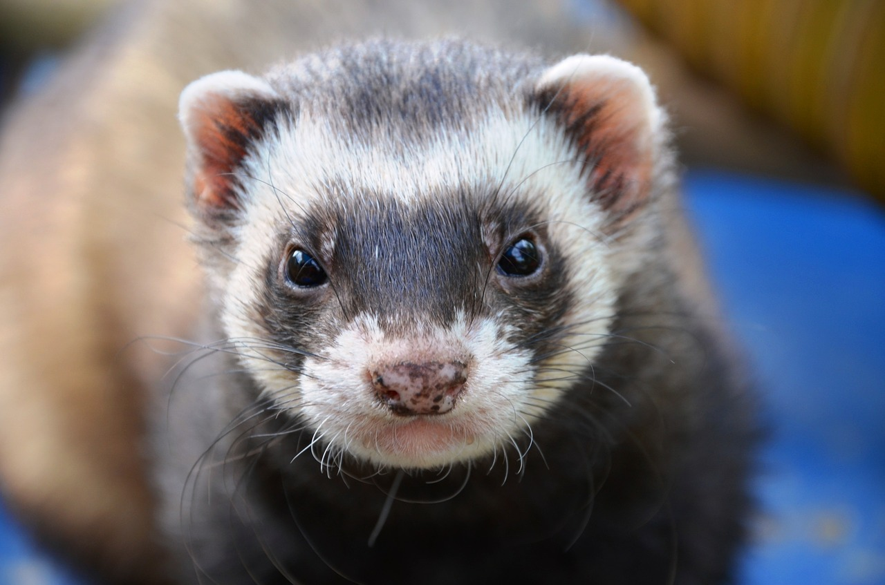 In News Just in…A Ferret That Expired 33 Years Ago Was Resurrected! Yes, You Read Right!