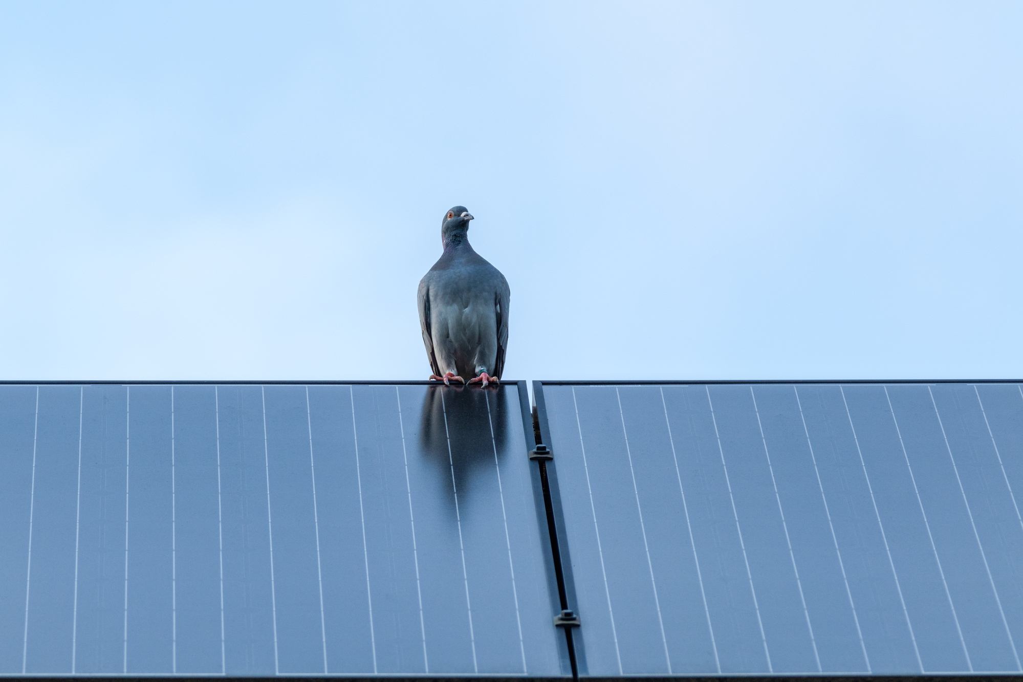 Homing pigeon on solar panel at the top of the roof.